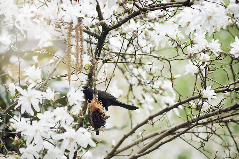 Blackbird eating peanut butter on Magnolia stellata branch by Laura Stolfi for Stocksy United
