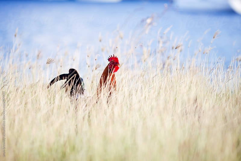 Rooster with a bright red comb walking through tall golden grass by anya brewley schultheiss for Stocksy United