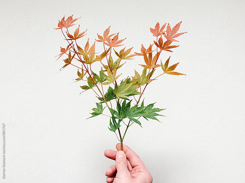 A branch of multi-colored leaves by Darren Seamark for Stocksy United