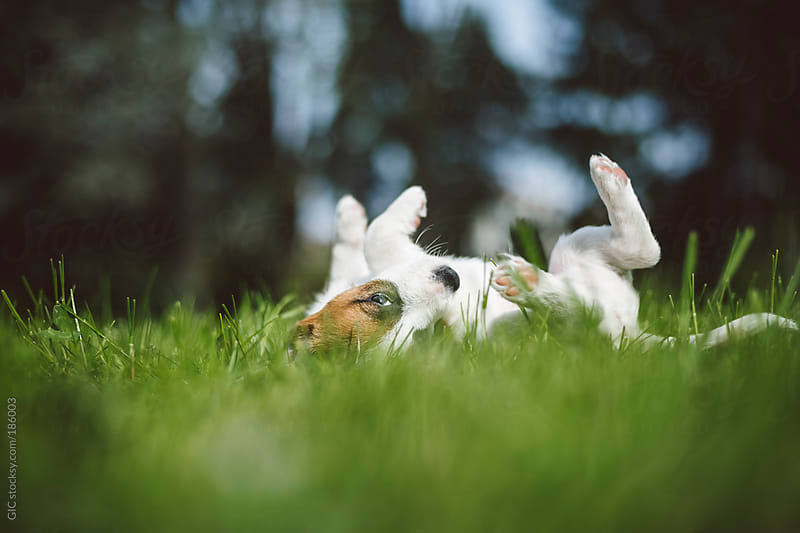 Jack Russell puppy playing in the grass by GIC for Stocksy United