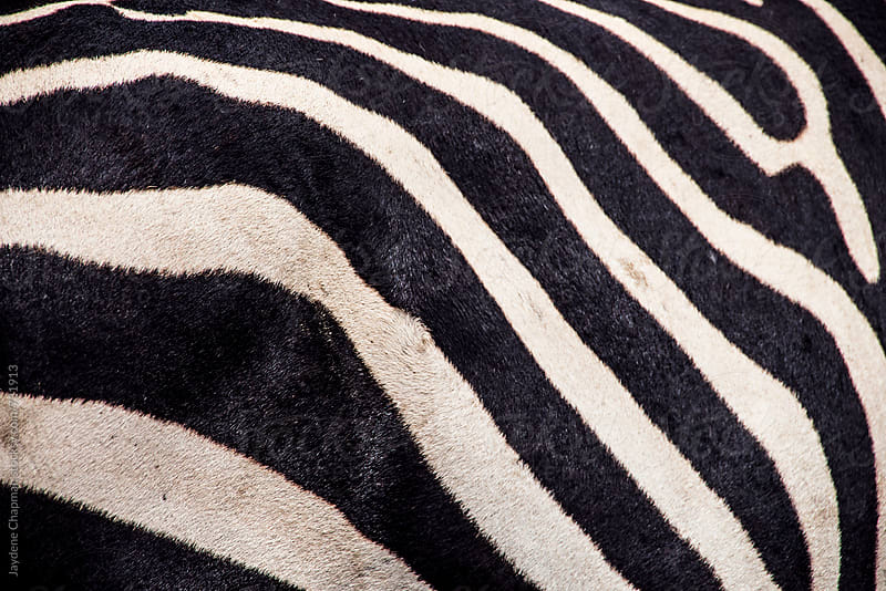 Close up of a Zebra Nogorogio Crater by Jaydene Chapman for Stocksy United