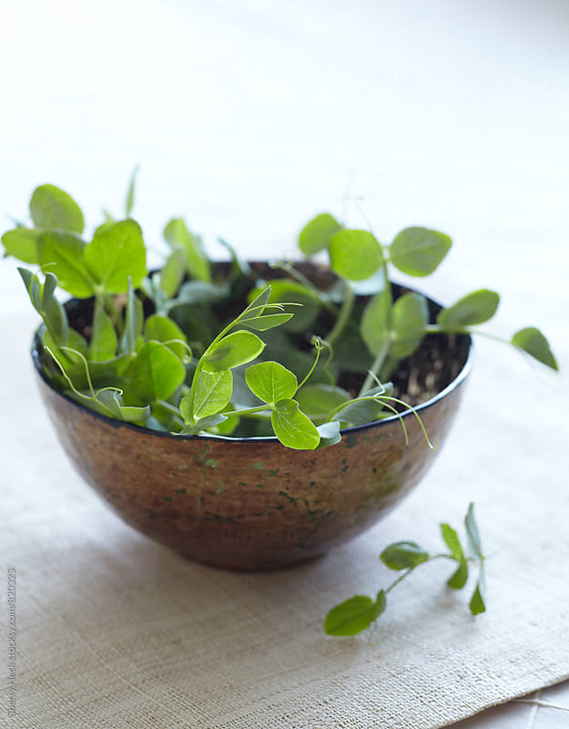 Gold bowl of fresh green pea shoots by Sherry Heck for Stocksy United