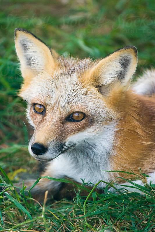 Red Fox by Alex Hibbert for Stocksy United