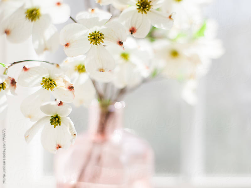 Dogwood blossoms in window light by Marta Locklear for Stocksy United