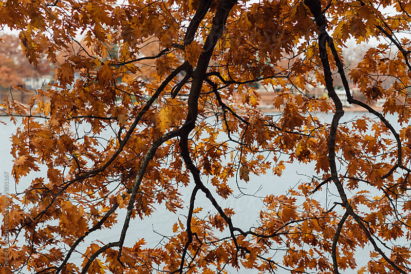 looking up at oak leaves in autumn by Deirdre Malfatto for Stocksy United