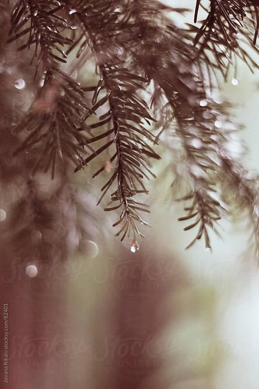 Raindrops on fir by Jovana Rikalo for Stocksy United