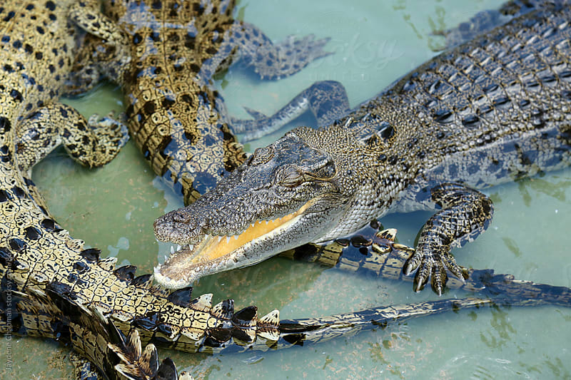 Baby saltwater crocodile opening his mouth by Jaydene Chapman for Stocksy United