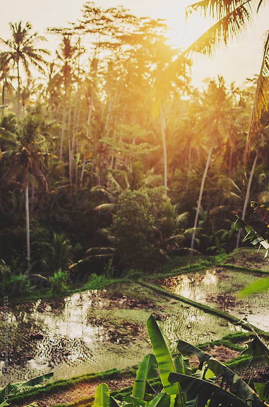 Sunsetting over rice paddies and palm trees by Dominique Chapman for Stocksy United