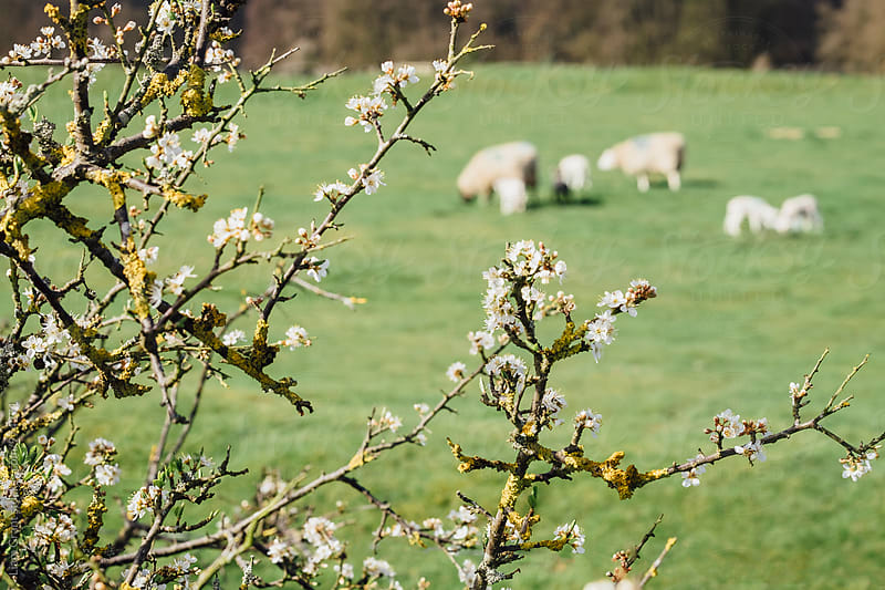 Spring blossom with out of focus sheep and lambs in the background. Norfolk, UK. by Liam Grant for Stocksy United