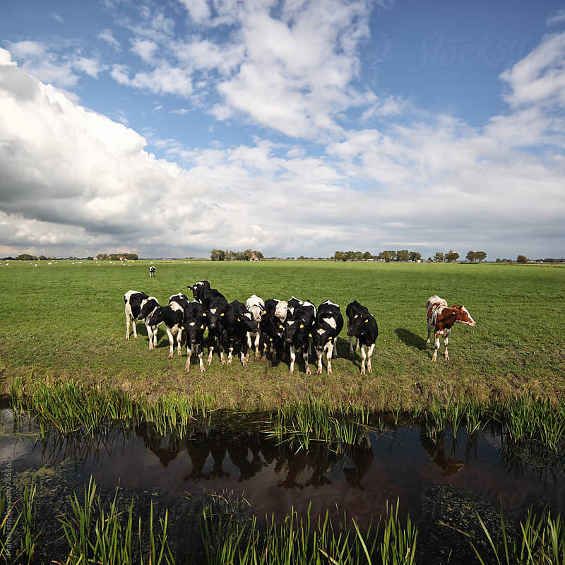 Young cows standing at a ditch in a pasture by Marcel for Stocksy United