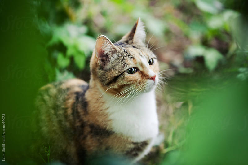 Tabby cat sits amongst leaves in garden and looks straight at something by Laura Stolfi for Stocksy United