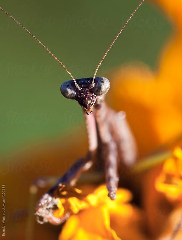 Praying Mantis Macro on a Sunflower by Brandon Alms for Stocksy United