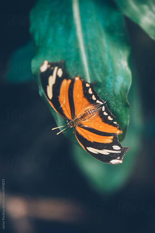 Butterfly posing on a leaf. by Javier Pardina for Stocksy United