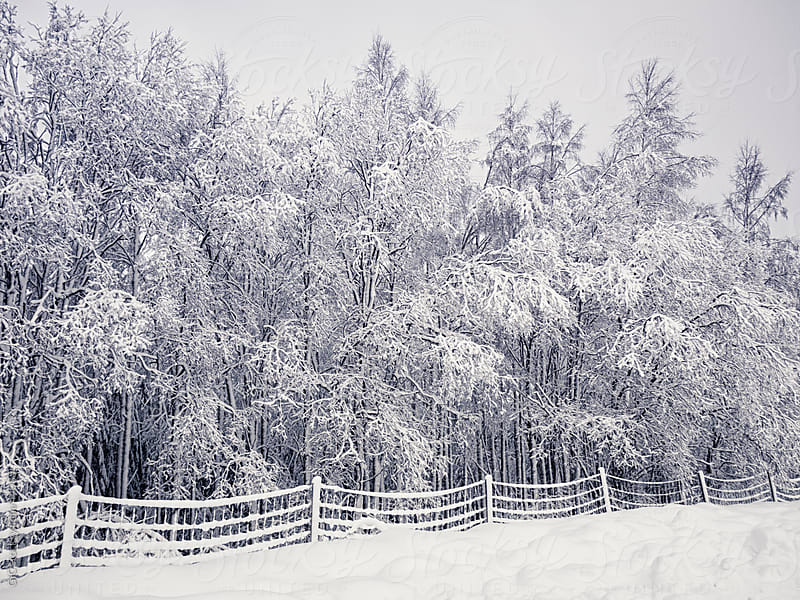 Forest with snow by GIC for Stocksy United