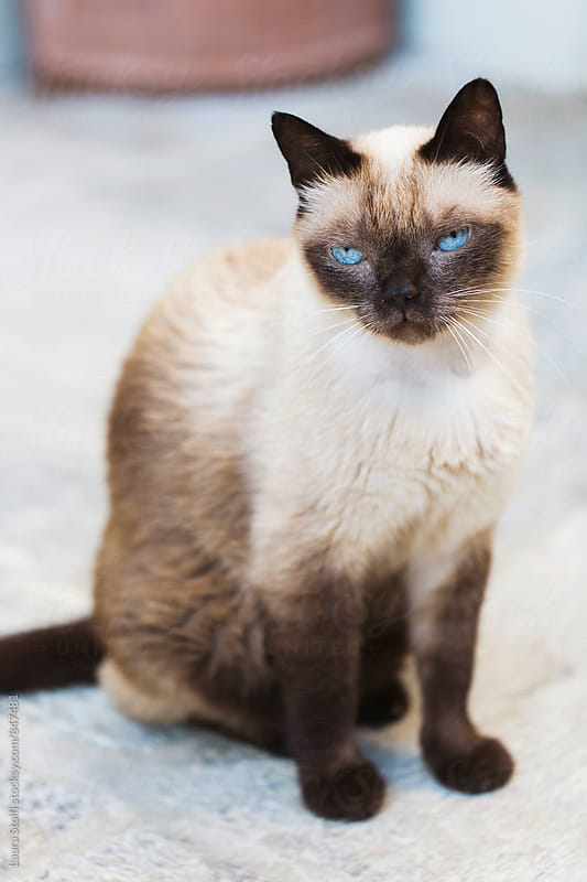 Close up of adult siamese cat sitting on stone pavement in sunny garden by Laura Stolfi for Stocksy United