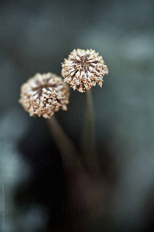 Extreme close-up of two dried Gray Santolina flowers (Santolina chamaecyparissus) on the bush by Laura Stolfi for Stocksy United