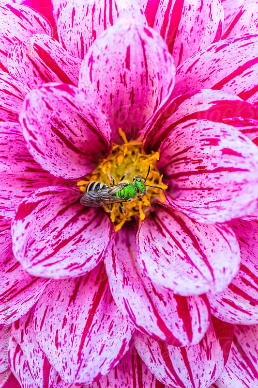 Dahlia and virescent green metallic bee by alan shapiro for Stocksy United