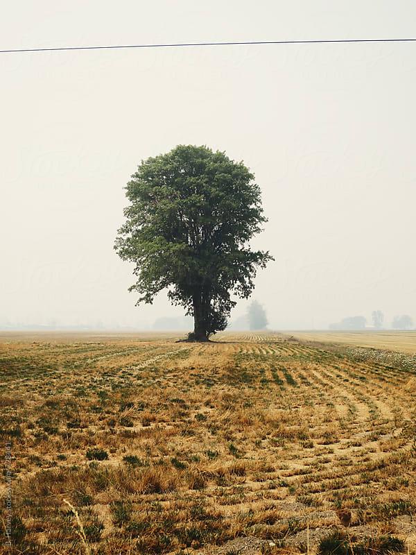 Lone Tree in Open Field by B. Harvey for Stocksy United