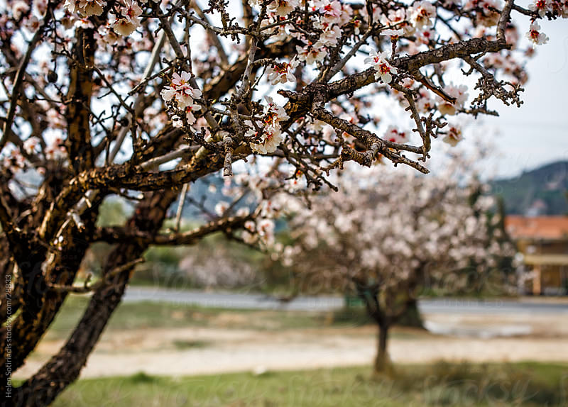 Trees blossoming in the spring by Helen Sotiriadis for Stocksy United
