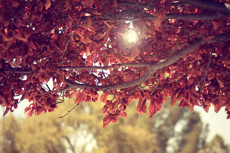 Red autumn leaves and sunlight on a backlit tree by Rachel Bellinsky for Stocksy United