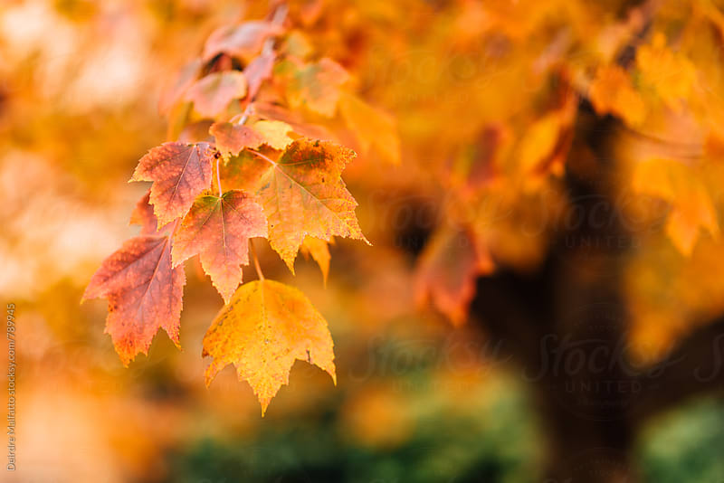 close up of orange maple leaves on a tree by Deirdre Malfatto for Stocksy United
