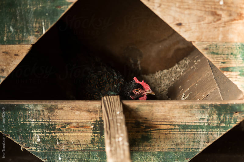 Chicken on her nest in old wooden shed. by Ivar Teunissen for Stocksy United