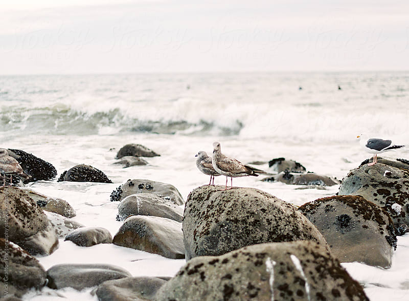 Seagulls by the coast  by Vicki Grafton Photography for Stocksy United