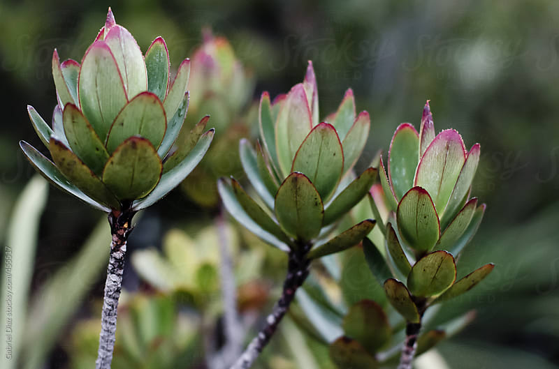 Endemic plant from Mount Roraima in Venezuela by Gabriel Diaz for Stocksy United