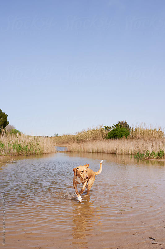 Labrador running in water against of bushy background by Guille Faingold for Stocksy United
