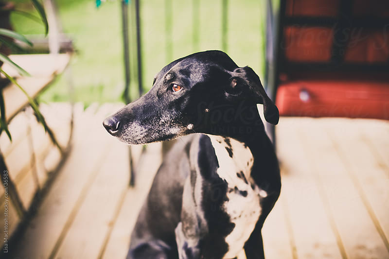 beautiful, sleek black and white dog sitting on porch by Lisa MacIntosh for Stocksy United