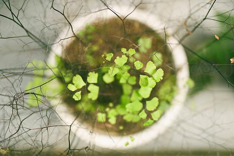 Fern plant in early spring by Lawren Lu for Stocksy United