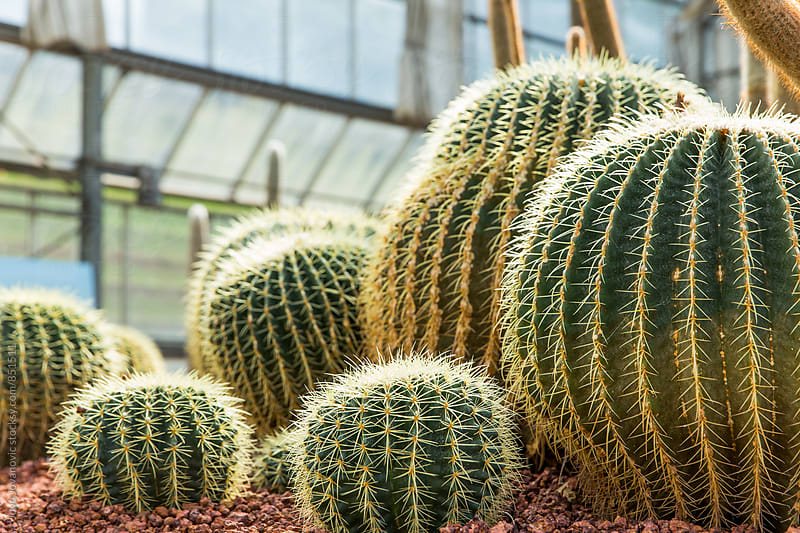 Close up on cacti plants by Jovo Jovanovic for Stocksy United