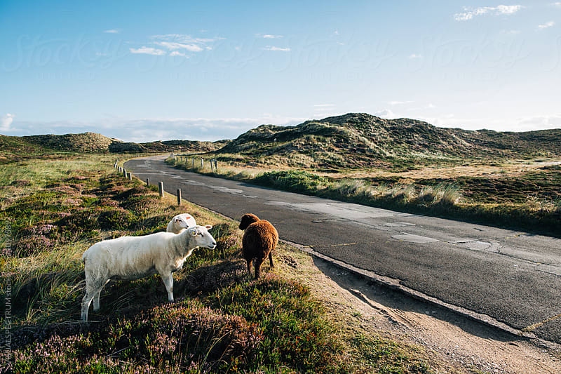 Three Sheep Standing in Beautiful National Park Landscape on Sylt (Germany) by VISUALSPECTRUM for Stocksy United