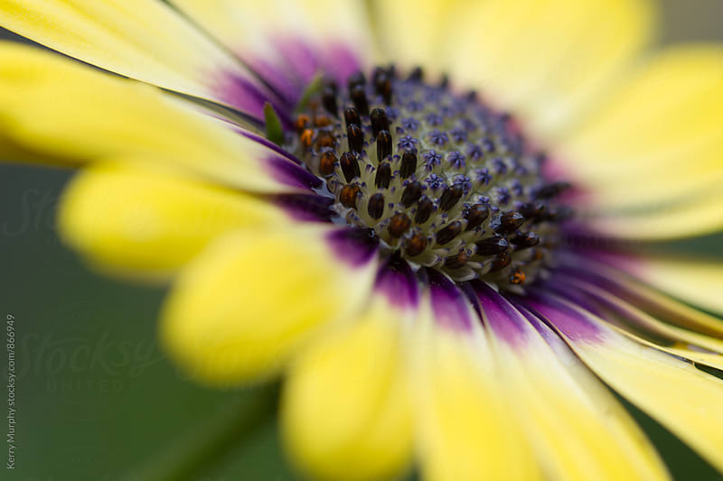 Abstract Macro of African Daisy flower by Kerry Murphy for Stocksy United