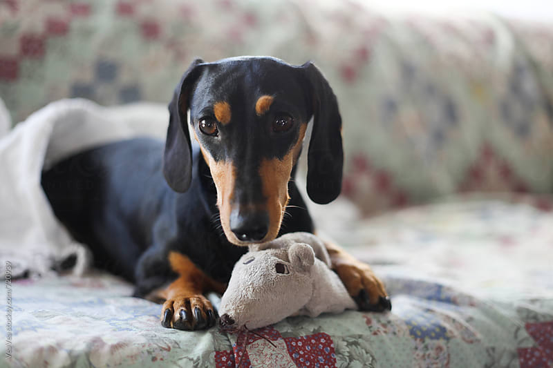 Adorable black dachshund and his rat toy on the couch  by Marija Mandic for Stocksy United
