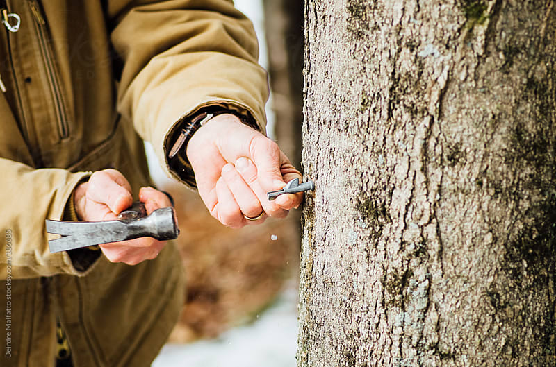 man hammering tap or spile into maple tree  by Deirdre Malfatto for Stocksy United
