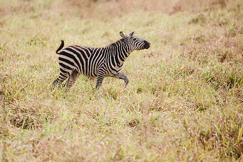 zebra running by Cameron Zegers for Stocksy United