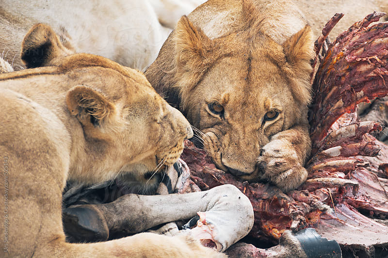 Free living lions eating zebra by Urs Siedentop & Co for Stocksy United