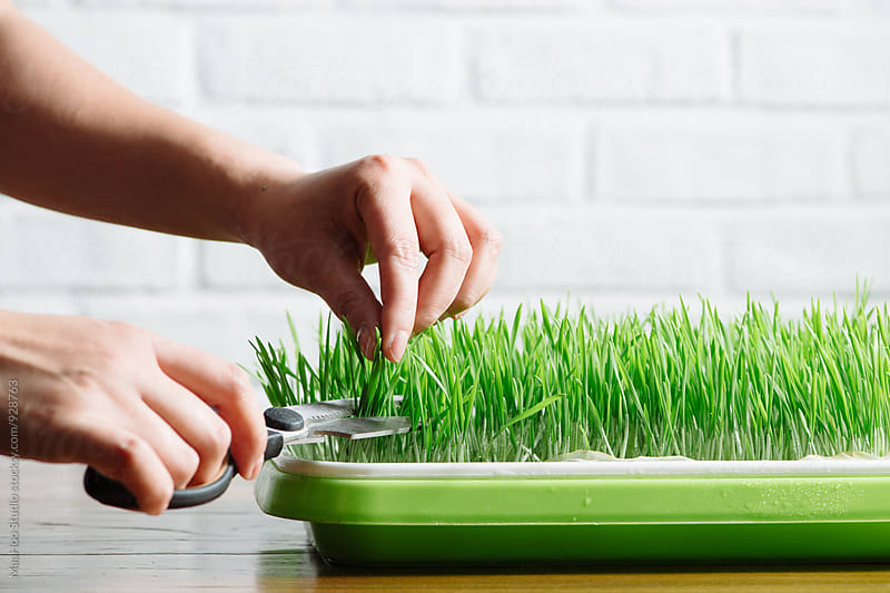 Woman cutting wheatgrass by Maa Hoo for Stocksy United