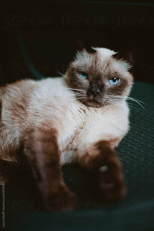 Siamese cat relaxing on board of car  by Laura Stolfi for Stocksy United
