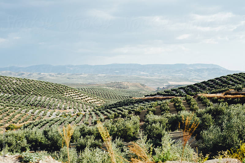 Olive field in Andalusia, Spain by María Barba for Stocksy United