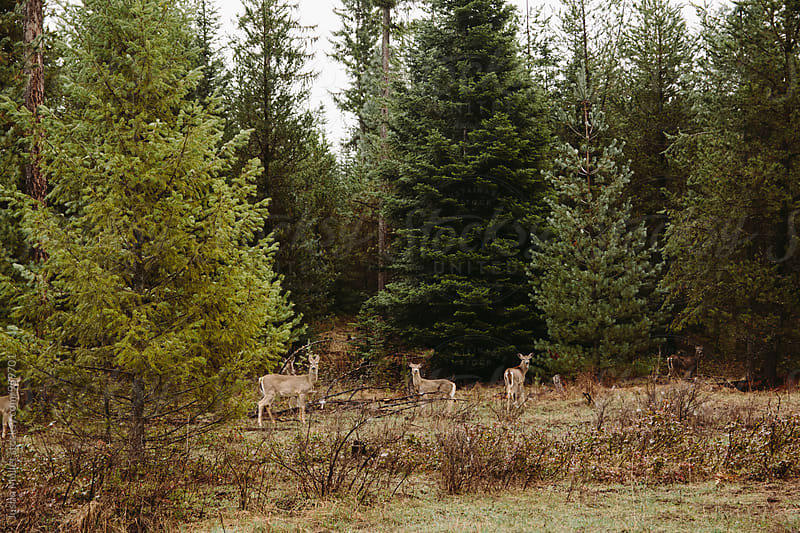 Whitetail deer blending into their surroundings by Justin Mullet for Stocksy United