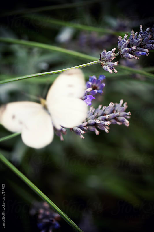 Blurry white butterfly behind lavender flowers by Laura Stolfi for Stocksy United
