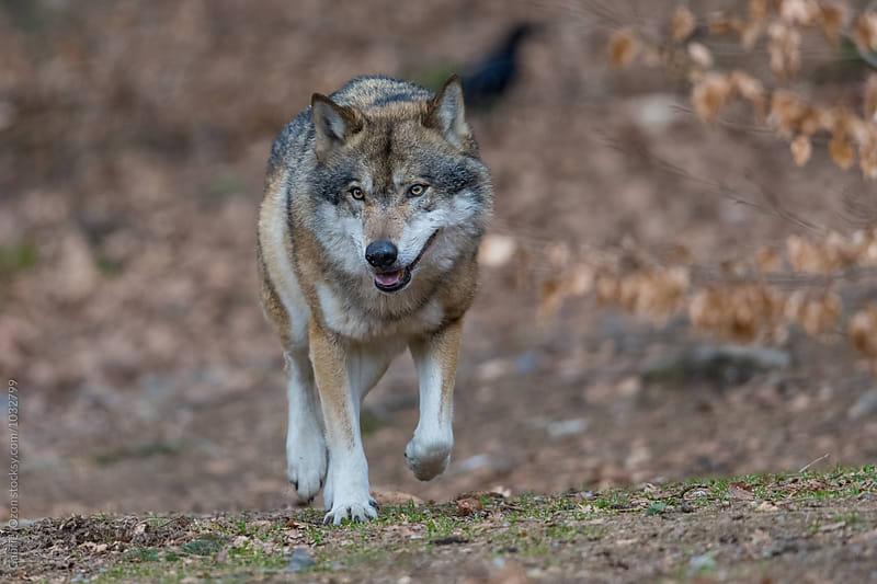 Wolf by Gabriel Ozon for Stocksy United