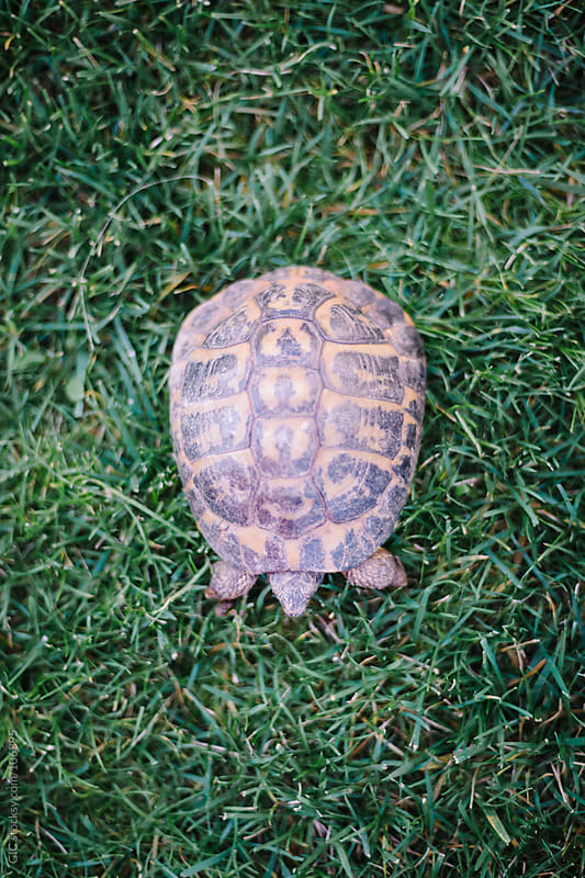 Turtle on the grass by GIC for Stocksy United