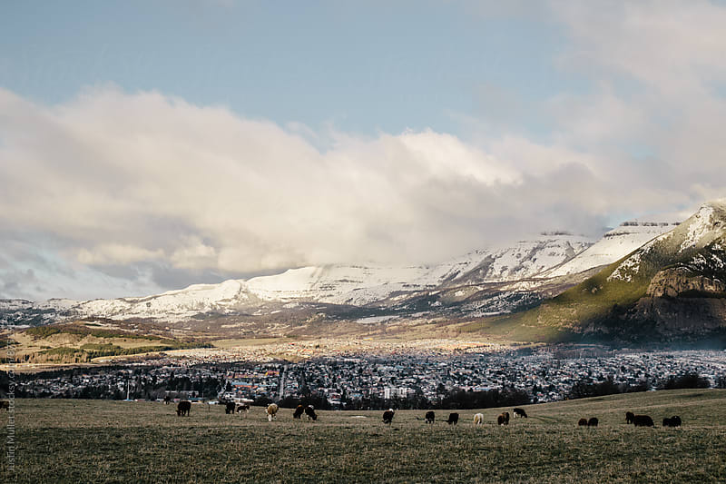 Cows grazing in pasture overlooking Coyhaique Chile by Justin Mullet for Stocksy United