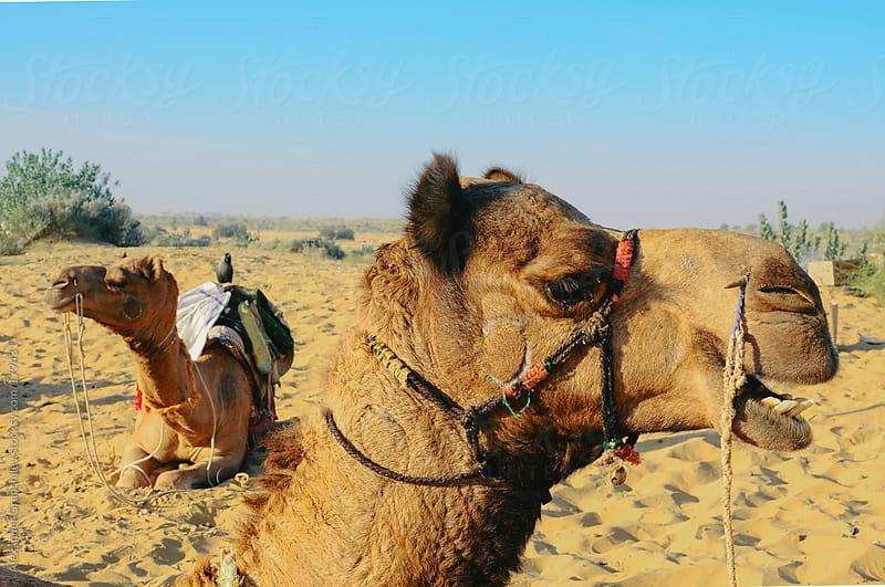 Camel in the Desert by Alexander Grabchilev for Stocksy United