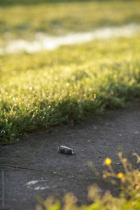 dead field mouse on a rural bike path by Marcel for Stocksy United