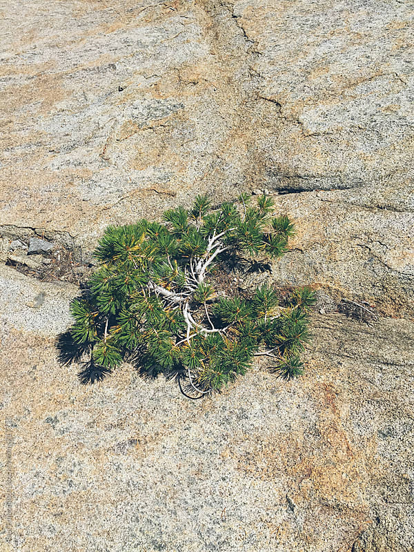Small evergreen growing on granite rock by Paul Edmondson for Stocksy United