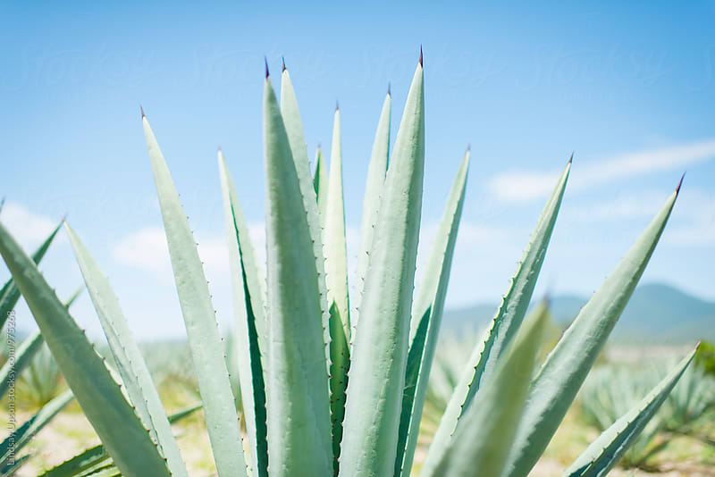 Agave Tips by Lindsay Upson for Stocksy United